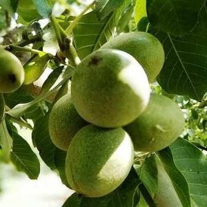 Выращиваю саженцы грецкого ореха