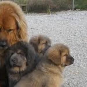 Младенцев тибетский мастиф
