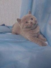 Продам британских лиловых котят