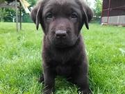 Прекрасные щенки шоколадного лабрадора!!!